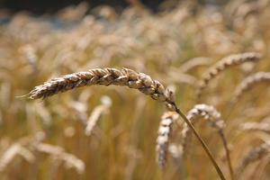 Getreideanbau im Museum